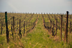 Vigna nella regione della Moravia, Repubblica ceca Fotografia Stock
