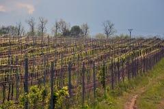 Vigna nella regione della Moravia, Repubblica ceca Fotografie Stock