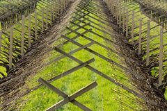 Vigna nella regione di viticoltura di Trentino Alto Adige, Italia del Nord Vigna nella primavera fotografia stock