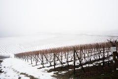 Vigna nella regione Piemonte del langhe di inverno coperto di neve e Fotografia Stock