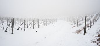 Vigna nella regione Piemonte del langhe di inverno coperto di neve e Immagine Stock Libera da Diritti