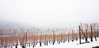 Vigna nella regione Piemonte del langhe di inverno coperto di neve e Fotografia Stock Libera da Diritti