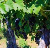 Vigna nella Virginia con l'uva e la scena della montagna immagini stock