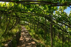Vigna ombreggiata sul Madera, Portogallo Fotografia Stock Libera da Diritti