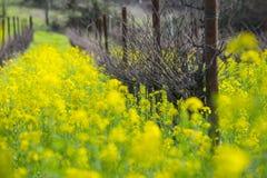 Vigna organica dell'uva in primavera Fotografia Stock