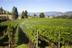 Vigna organica di Pinot Noir della valle di Okanagan Immagini Stock Libere da Diritti