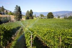Vigna organica di Pinot Noir della valle di Okanagan Fotografia Stock