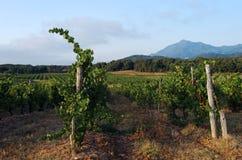 Vigna in pianura orientale della Corsica Fotografie Stock Libere da Diritti