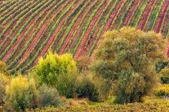 Vigna pittoresca ad una collina soleggiata Fotografia Stock Libera da Diritti