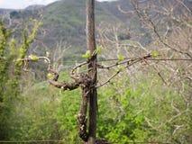 Vigna preparata Agricoltura italiana tradizionale Fotografia Stock Libera da Diritti