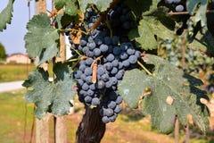 Vigna pronta a produrre vino Fotografie Stock