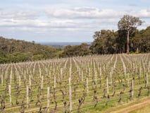Vigna, regione del vino di Margaret River, AustraliaVineyard occidentale, Fotografia Stock