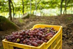 Vigna - scatola gialla in pieno di Rose Grapes Immagine Stock Libera da Diritti
