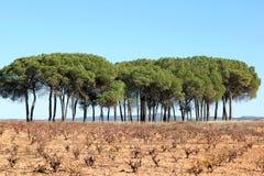Vigna spagnola in autunno, regione del vino di Manchuela Fotografia Stock Libera da Diritti