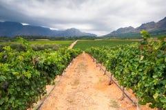 Vigna - Stellenbosch, la Provincia del Capo Occidentale, Sudafrica Immagine Stock