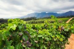 Vigna - Stellenbosch, la Provincia del Capo Occidentale, Sudafrica Immagine Stock Libera da Diritti