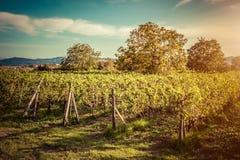 Vigna in Toscana, Italia Azienda agricola del vino al tramonto annata Fotografia Stock