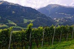 Vigna in valle del Reno (il ¼ di Graubà nden, Svizzera), con l'uva che matura nella fine dell'estate Fotografie Stock Libere da Diritti