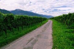 Vigna in valle del Reno, Svizzera, con l'uva che matura Immagini Stock