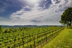 Vigna in valle di Vipava, Slovenia Fotografia Stock Libera da Diritti