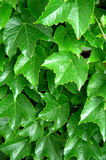 Vigna verde Fotografia Stock