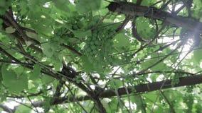 Vigna verde, primo piano stock footage