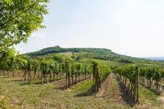 Vigna vicino a Palava, al parco nazionale ceco, all'agricoltura del vino ed all'agricoltura, paesaggio di estate, cielo blu della Fotografia Stock Libera da Diritti