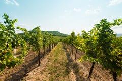 Vigna vicino a Palava, al parco nazionale ceco, all'agricoltura del vino ed all'agricoltura, paesaggio di estate, cielo blu della Immagini Stock
