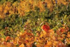 vigne Image libre de droits