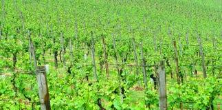 Vigne Photo stock