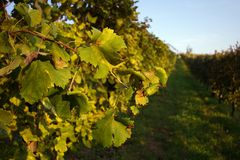Vigne Photo libre de droits