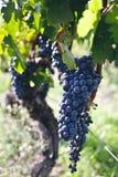 vigne Photos libres de droits