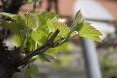 vigne Images libres de droits