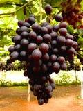 vigne Immagini Stock