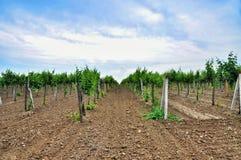 vigne Agricoltura in Taman Fotografia Stock Libera da Diritti