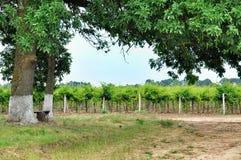 vigne Agricoltura in Taman Immagini Stock