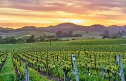 Vigne al tramonto in California, U.S.A. immagine stock libera da diritti