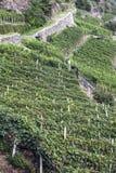 Vigne alpine Fotografie Stock