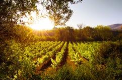 Vigne au coucher du soleil Photos libres de droits