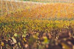 Vigne in autunno Fotografia Stock