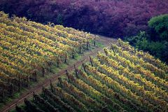 Vigne in autunno Immagine Stock