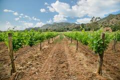 Vigne avec des raisins de bébé et les fleurs - floraison de la vigne avec de petites baies de raisin Photographie stock