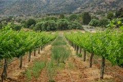 Vigne avec des raisins de bébé et les fleurs - floraison de la vigne avec de petites baies de raisin Images stock