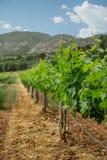 Vigne avec des raisins de bébé et les fleurs - floraison de la vigne avec de petites baies de raisin Photos stock