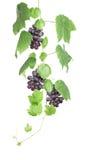 Vigne avec des raisins rouges d'isolement Photo stock