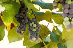 Vigne avec l'élevage coloré de raisins Photos libres de droits