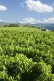 Vigne, avec le ciel bleu d'été. La Provence. La France. Photo stock