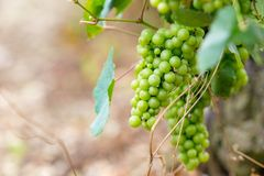 Vigne avec un groupe de raisins Photo stock