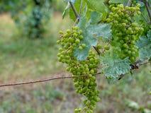 Vigne, bleu dû au fongicide de sulfate de cuivre d'IE de mélange de Bordeaux, sulfate de cuivre et éteint chaux photos libres de droits