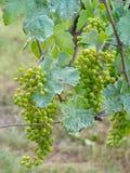 Vigne, bleu dû au mélange de Bordeaux de fongicide de sulfate de cuivre aka Organique, apparemment photos stock